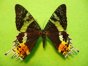 set and spread butterfly