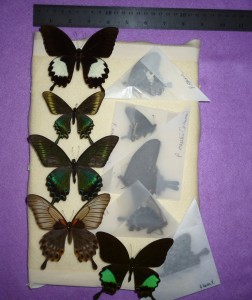 dried, papered butterflies